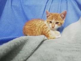 Adorables gatico color naranja