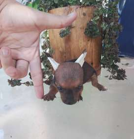 Pincher Olaf DISPONIBLE