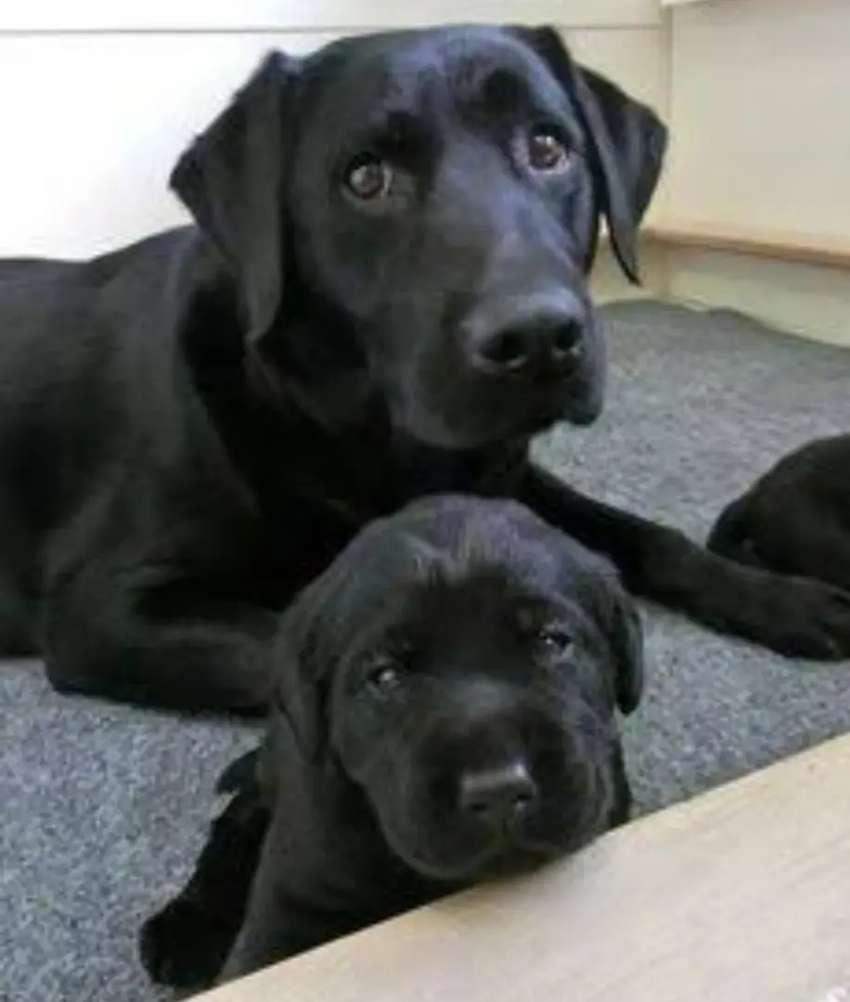 Cachorros labradores negritos finos