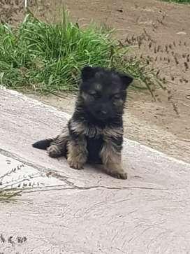 Cachorros Pastor Aleman 2 meses