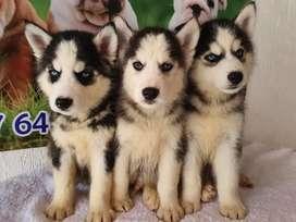 lobos siberianos de 50 dias