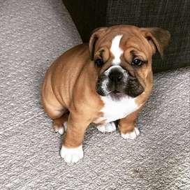 perritos bulldog ingles para entrega inmediata 59 dias