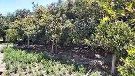 Terreno con árboles frutales en Bello Horizonte.  Altos de Guayllabamba.