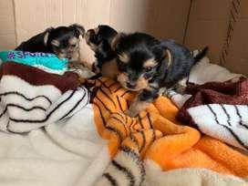 Vendo perra yorshire terrier