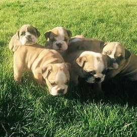 bulldog ingles hembra lindas 55 dias gorditas