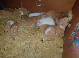 En adopcion hamsters