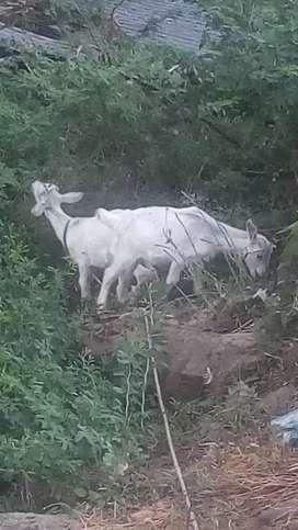 Venta de cabras