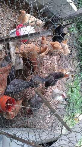 Venta de gallinas pio pio