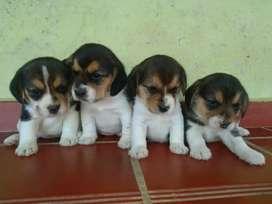 Hermosisimos beagle