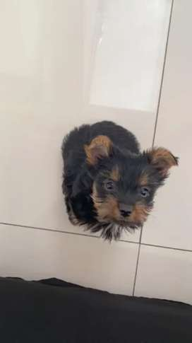 Yorkshire terrier mini toy saludables