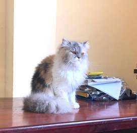 Se busca Novio para gatita Persa