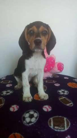Hermosos Beagle