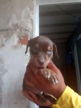 Último cachorrito pitbull