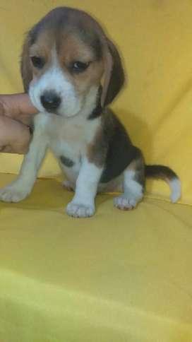 Beagles en Venta M H E