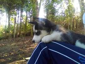 Vendo cachorra siberiana, raza pura con pepeles y primera vacuna. 700.000