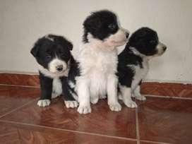 Cachorros border colli disponibles