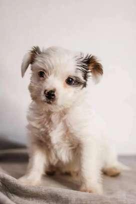 Chorkie perro mini