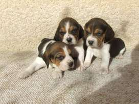 disponibles en venta beagle tricolor