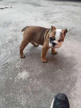 Bulldog cachorra