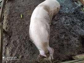 Se vende cerdo