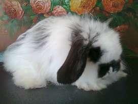 CONEJOS FUZZY LOP Conejos de Pelo Largo y Orejas Caídas en Bogotá