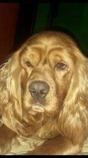 Busco perrita coker para  mi perro