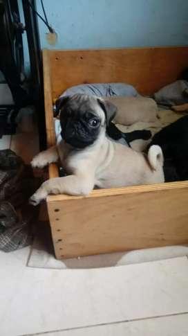 Hermosos cachorros Pug para la venta