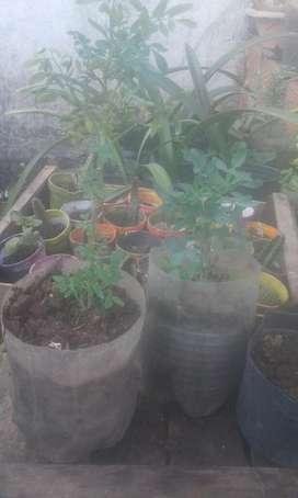 Plantas de Rudas