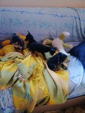 Cachorros Mini Doberman