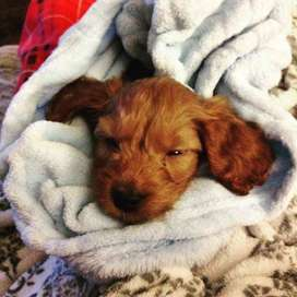 disponibles lindos cachorros de Cocker con 56 días con certificados realizados por veterinarios