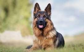 perros cachorro raza pastor aleman adiestramiento canino curso entrenamiento personas gatos pura raza