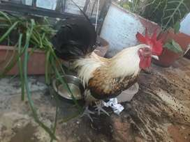 Se vende hermosa pareja de gallos kikos