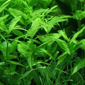 Planta Natural acuario-Hygrophila Polysperma