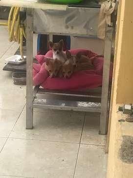 Disponibles hermosos cachorros Chihuahuas