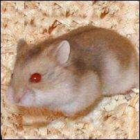hamster ruso color argente