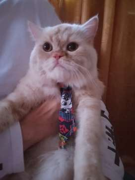 Gatito persa busca novia