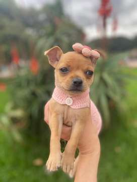 Chihuahua hembra super promo!!