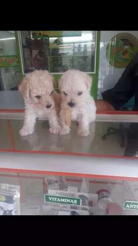 Vendo hermoso cachorro poodle