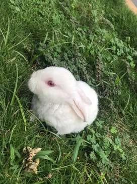 Conejos antialérgicos