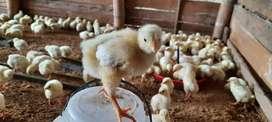 Venta de pollo gigante (Blanco)