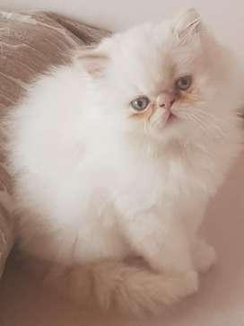 Gato Persa Himalayo Extremo Ojos Azules
