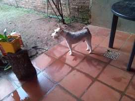 hola busco perrita fox terrier para servicio