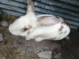 Venta de conejos por motivo de viaje.