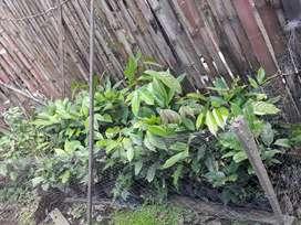 Plantas de ACHOTILLOS