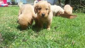 Cachorros Golden hembritas