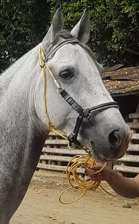 Vendo caballo moro