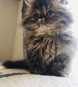 Hemoso gato macho persa extremo. Se entrega desparacitado y con carnet con su primera vacuna tiene tres meses
