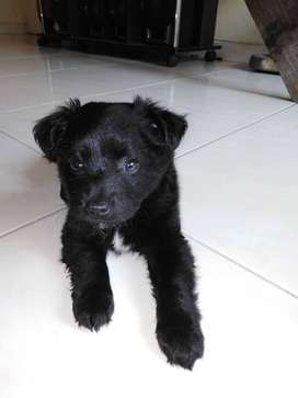Cachorro Golden negro cruzado con labrador