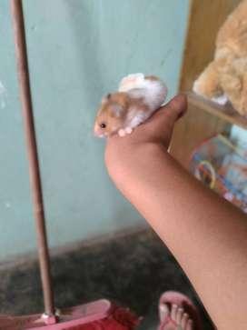 Cendi hamster