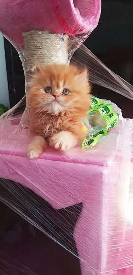 Persa Red tabby